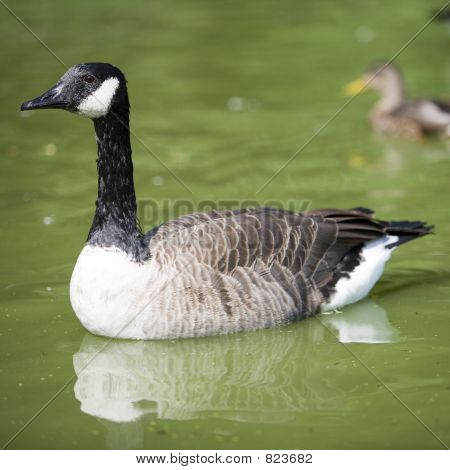 A Canada goose floating around