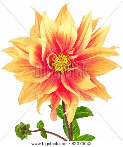 Dahlia, orange, yellow colored flower with stem and bud