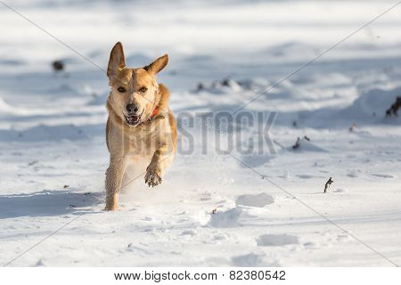 Fast Labrador