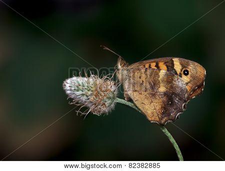 Butterfly in rest