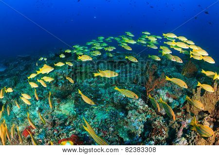 Bluestriped Snapper On A Reef