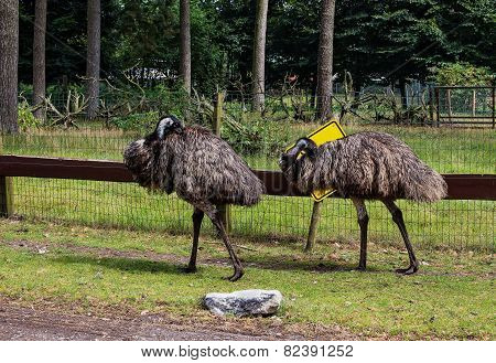 Two Adult Ostrich