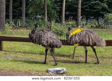 Adult Gray Ostrich Emu,general Plan