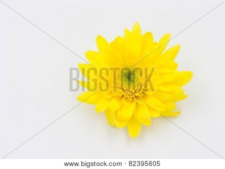 One Yellow Chrysanthemum Flower Isolated Over White Background