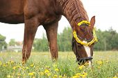 foto of horses eating  - Chestnut horse eating dandelions at the pasture in rural area - JPG