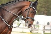 picture of girth  - Beautiful sport horse portrait in horse show - JPG