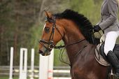 stock photo of girth  - Beautiful sport horse portrait in horse show - JPG