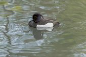foto of ducks  - A Tufted Duck paddling in the duck pond at Horsham Park Horsham Surrey UK - JPG