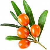 foto of sea-buckthorn  - Sea buckthorn branch with berries isolated on white background - JPG