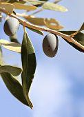 picture of kalamata olives  - beautiful black kalamata olives ready for harvest - JPG