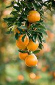 stock photo of tangerine-tree  - this is fresh orange hang on tree - JPG