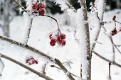 image of wild-brier  - frozen berries of wild rose in the winter snow on the bush - JPG