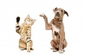 stock photo of tabby-cat  - Cat Scottish Straight and pit bull puppy sitting together with raised paws isolated on white background - JPG