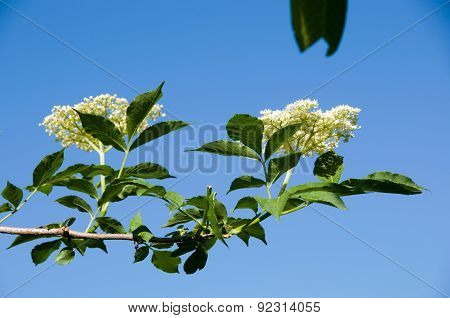 Flower Buds And Flowers
