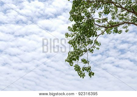 Leaves Of Bo Tree With Blue Sky And Cloud