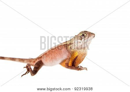 The Brown-patched Kangaroo lizard on white