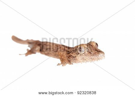 Leaf-toed gecko, unknow uroplatus, on white