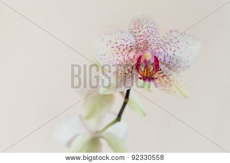 White orchid with pink spots