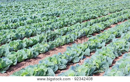 cabbage on a field
