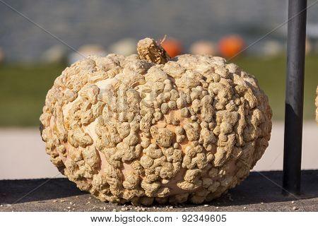 Warzenkürbis Cucurbita Maxima Pumpkin Pumpkins From Autumn Harvest