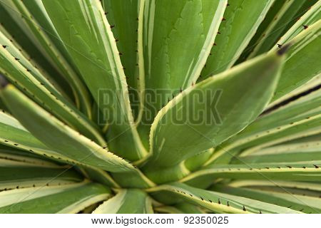 Agave Plant Background