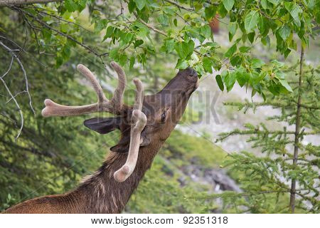 Head Of Canadian White-tail Deer Reaching For Leaves On Tree