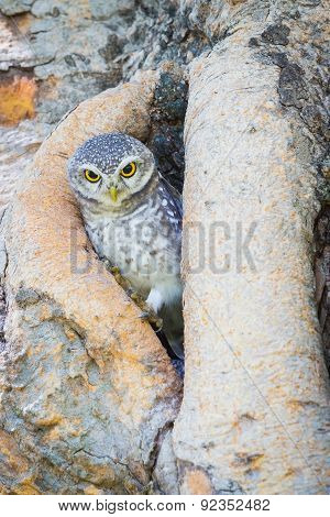 Burrowing Owl stand on the tree hole