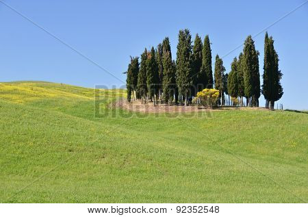 Cypress grove on the hill. Tuscany, Italy