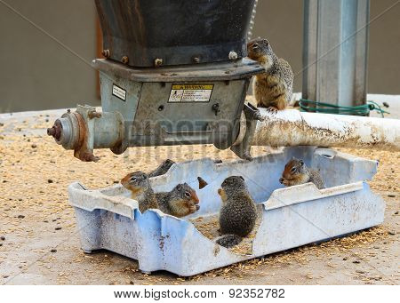 Gophers Eating At A Grain Storage