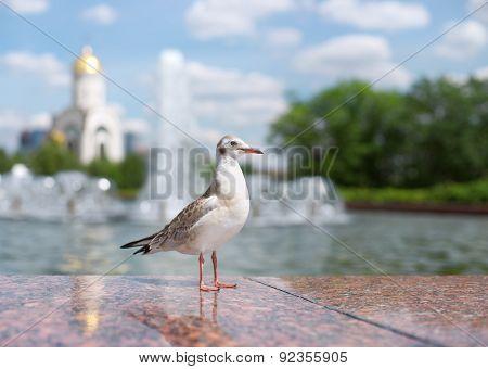 Bird Seagull In A City Park. Russia, Moscow, Poklonnaya Hill.