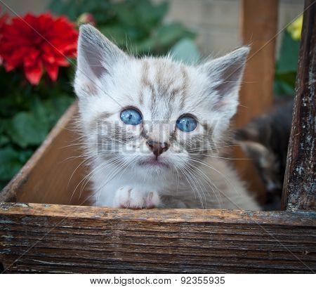 Super Cute Siamese Kitten