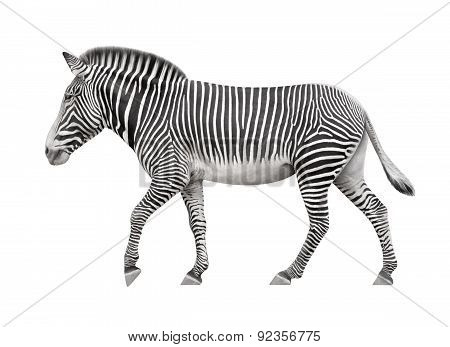 Zebra Walking On A White Background