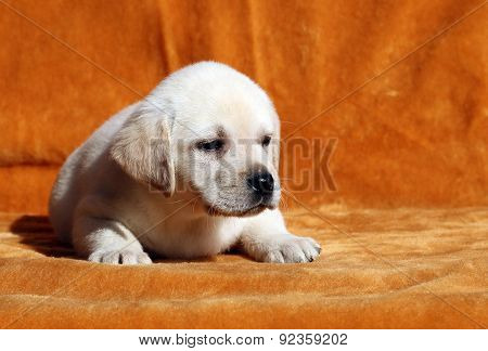 Nice Yellow Labrador Puppy On Orange Background