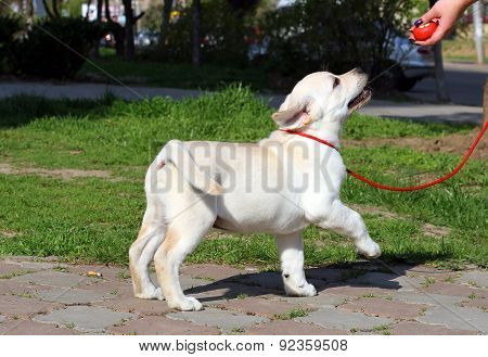 The Yellow Labrador Puppy Learning For Dog Show