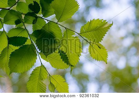 Leaves Of Alder