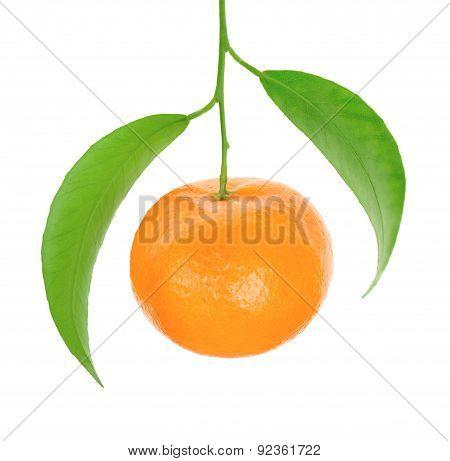 Mandarin On Branch On White Background