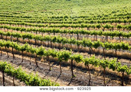 Clare Valley Grape Vines