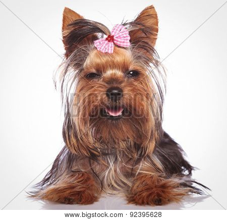 adorable little yorkshire terrier puppy dog looking sleepy with eyes cloed is smiling to the camera