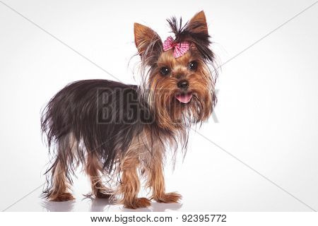 cute yorkshire terrier puppy dog standing on studio background and looking at the camera with mouth open and tongue exposed