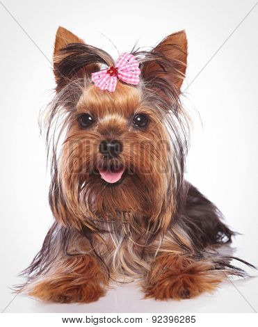 happy yorkshire terrier puppy dog lye down  on studio background