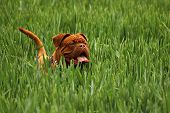 stock photo of dogue de bordeaux  - Dogue de Bordeaux puppy playing in green field - JPG