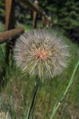 picture of dandelion seed  - closeup of a dandelion seed head surrounded by green grass and a wooden fence - JPG