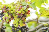 image of cluster  - ripening green and red grape clusters on the vine - JPG