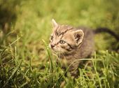 pic of baby cat  - curious little baby cat looking away in the grass - JPG