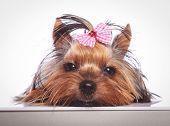 picture of sleepy  - sleepy little yorkshire terrier puppy dog is lying down on studio background - JPG