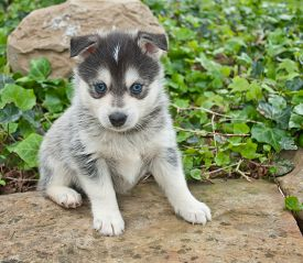 foto of puppy eyes  - Very cute Pomsky puppy sitting on a rock outdoors with very blue eyes - JPG
