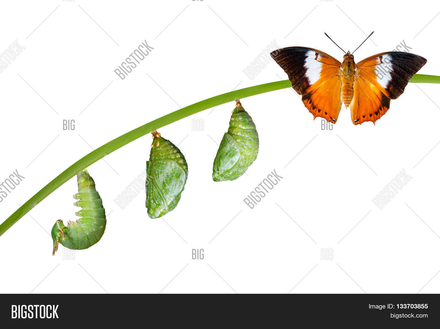 Butterfly life cycle chrysalis