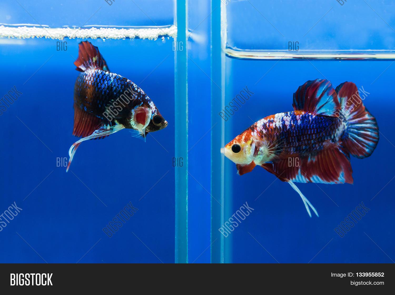 Siamese Fighting Fish Aquarium Image Photo Bigstock