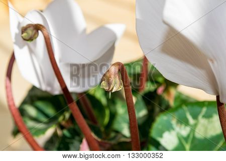 Cyclamens bud - white flower bud with green foliage