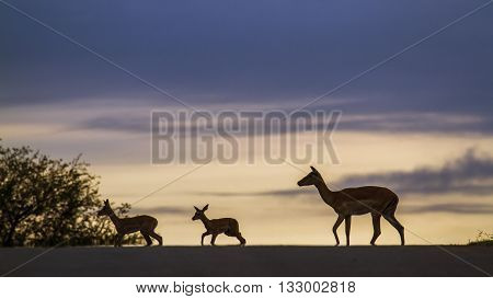 Specie Aepyceros melampus family of bovidae, wild impalas walking on sunset in Kruger Park